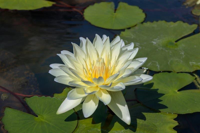 La belle fleur ou le n?nuphar de lotus blanc dans l'?tang photos libres de droits