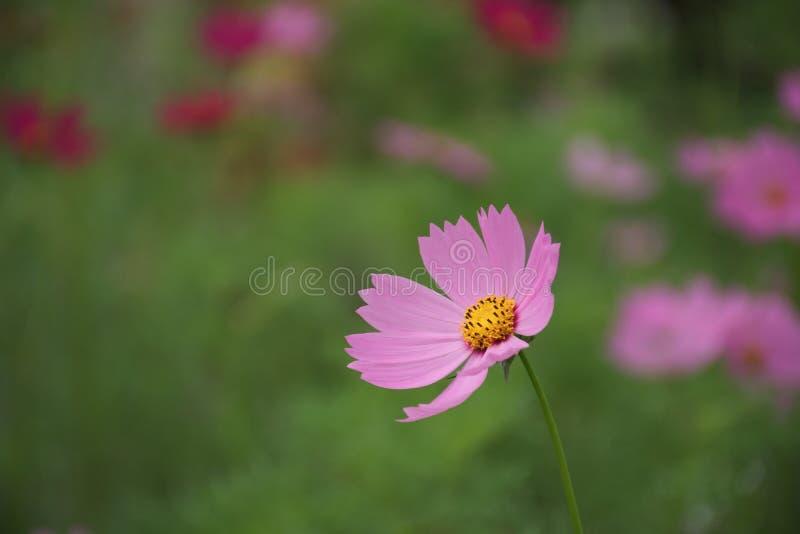 La belle fleur rose de cosmos photographie stock libre de droits