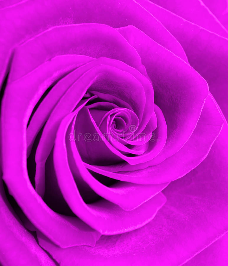La belle floraison a monté photographie stock