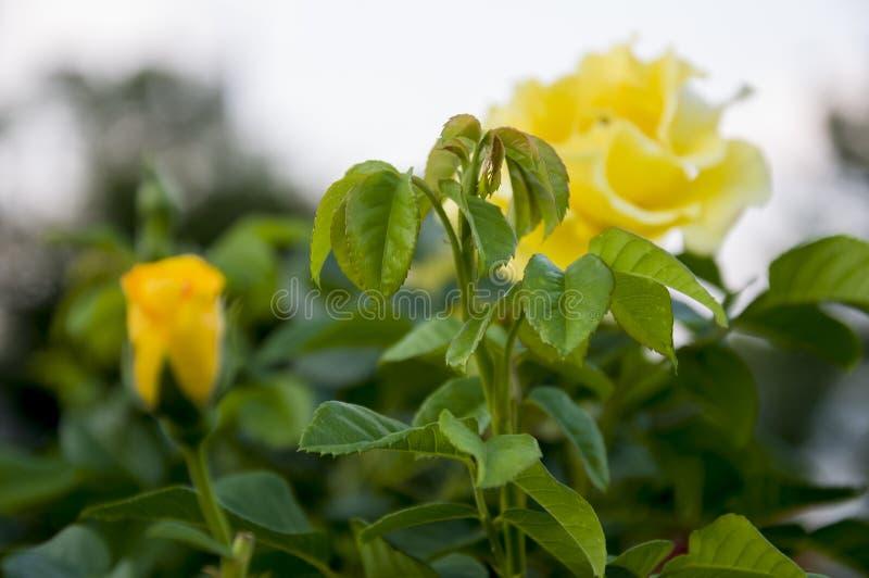 La belle grande fleur jaune s'est levée sur le fond avec la rue de ville feuilles et épines de vert Parterre dans la ville image stock
