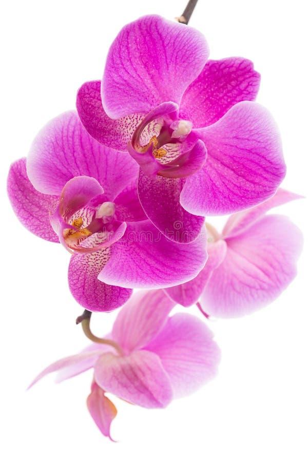 La belle maison violette fleurit des orchidées photographie stock