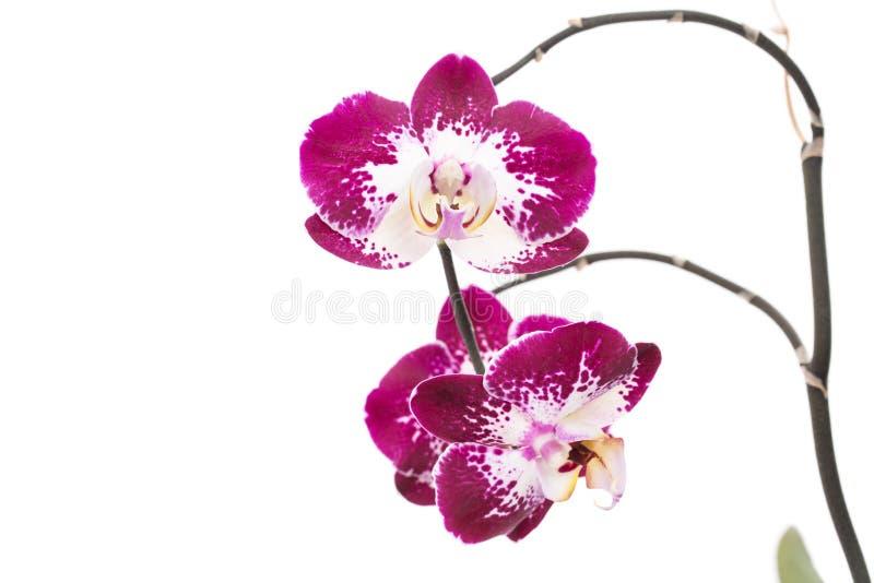 La belle maison violette fleurit des orchidées photos libres de droits