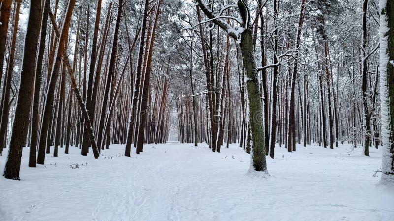 La belle neige a couvert la forêt sauvage, conservation de nature, paysage d'hiver, vue photo libre de droits