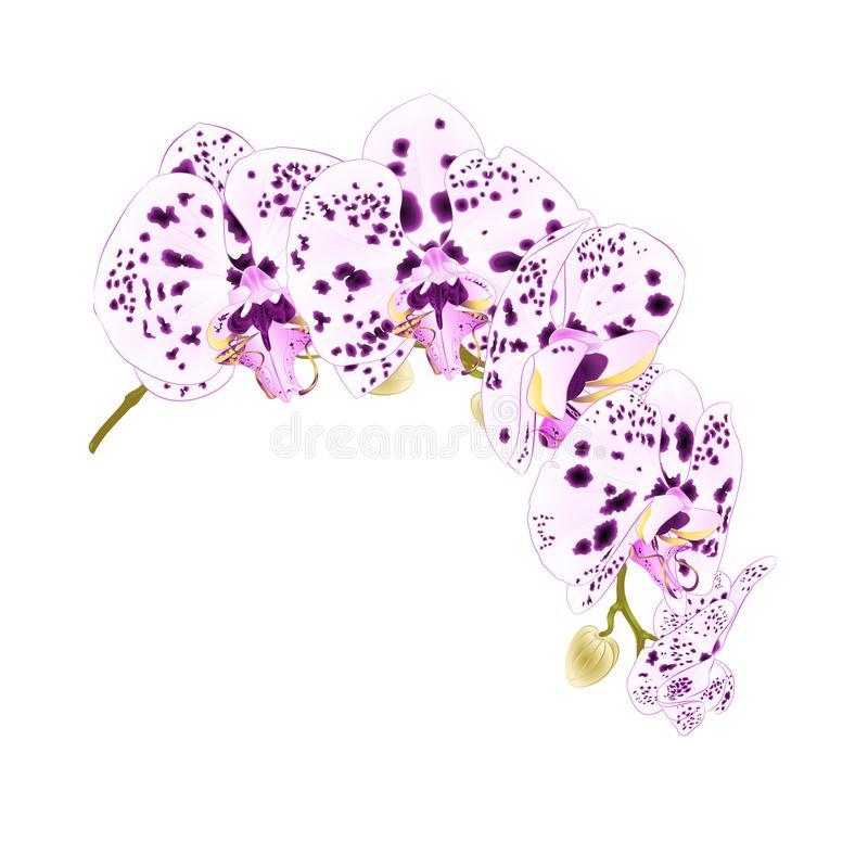 La belle orchidée d'isolement de Phalaenopsis pointille la tige pourpre et blanche avec des fleurs et des bourgeons sur un Cl bla illustration de vecteur