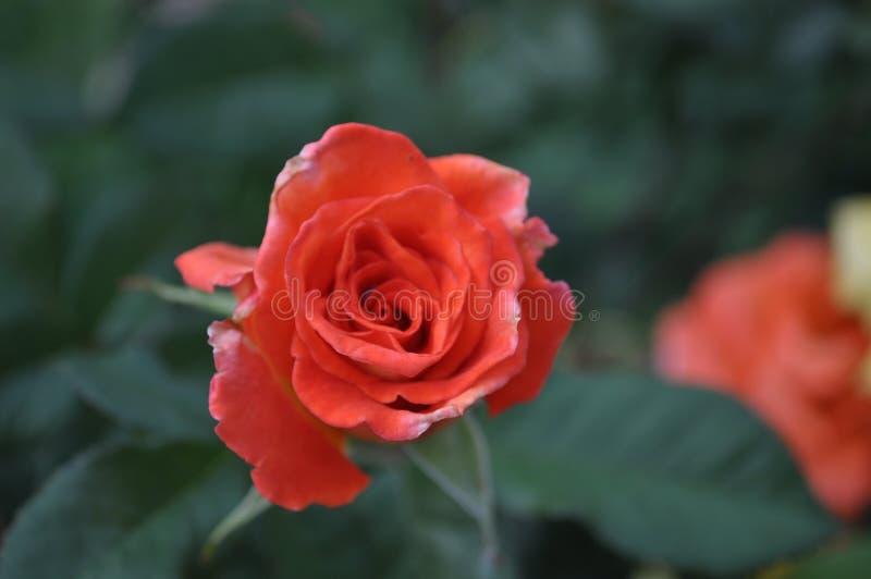 La belle petite orange s'est levée images libres de droits