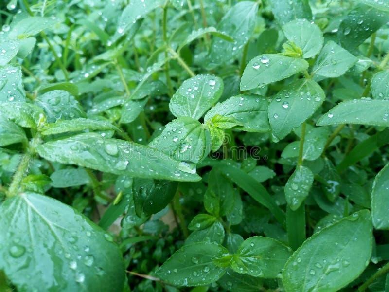 La belle pluie se laisse tomber sur la feuille dans la saison des pluies photos stock