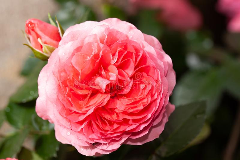 La belle rose de rose dans un jardin s'est levée photos stock