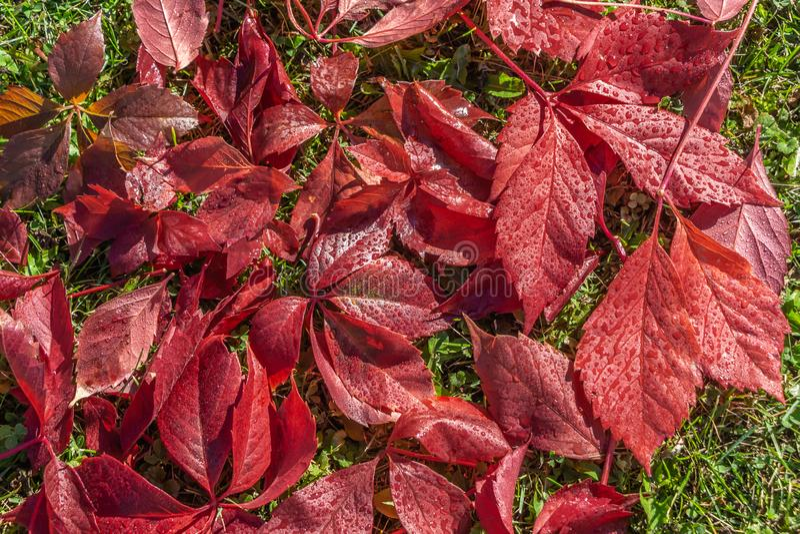 La belle texture des feuilles humides rouges des raisins de fille est sur une pelouse d'herbe verte images stock