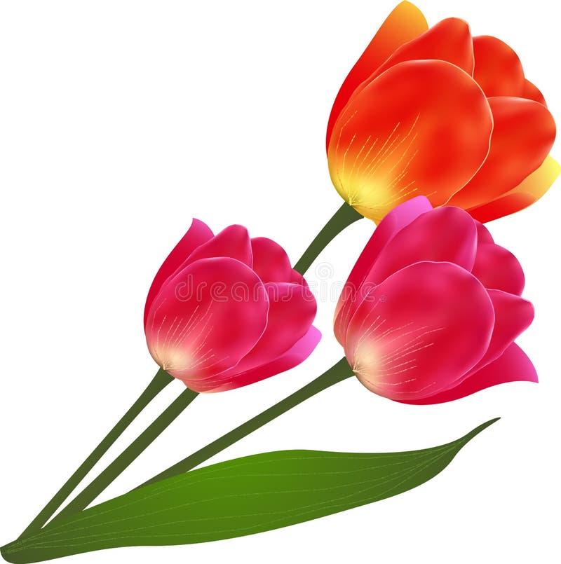 La belle tulipe d'isolement par vecteur fleurit le bouquet illustration libre de droits
