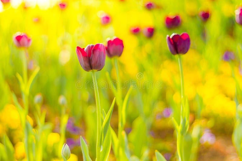 La belle tulipe de ressort d'été fleurit pour le fond de nature La tulipe naturelle calme de paysage et de lumière du soleil et d photo libre de droits