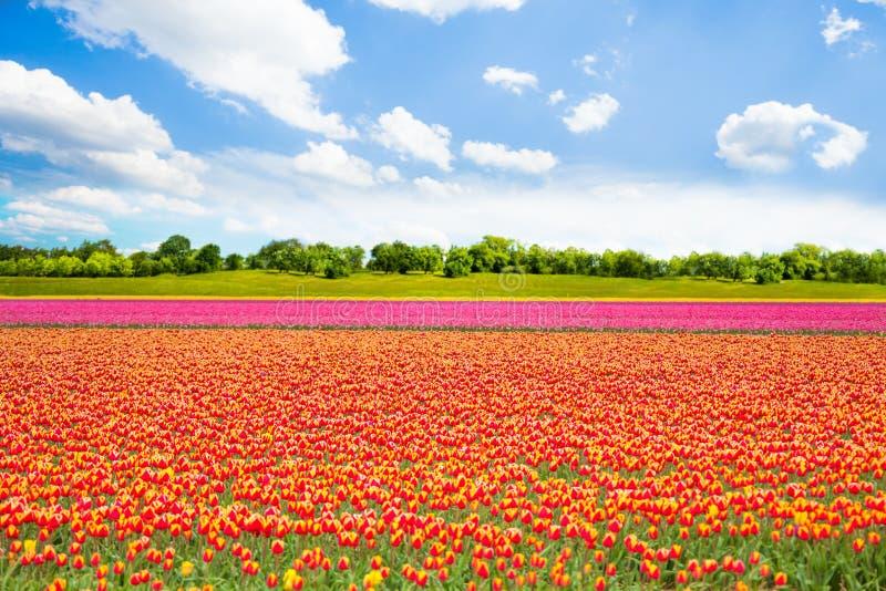 La belle tulipe orange et rose met en place pendant l'été photos libres de droits