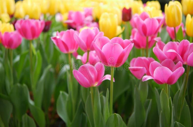 La belle tulipe rose fleurit le foyer sélectif dans le domaine coloré de tulipes images libres de droits