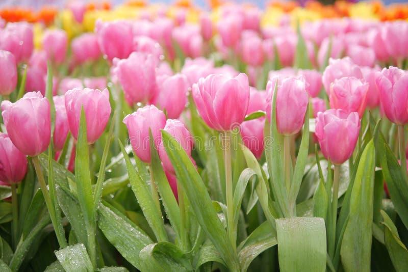 La belle tulipe rose fleurit le foyer sélectif dans le jardin coloré de tulipes images libres de droits
