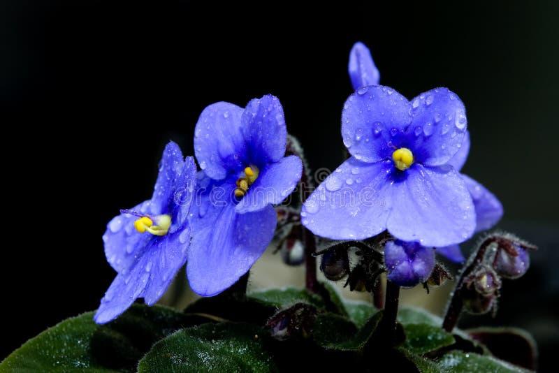 La belle violette africaine image libre de droits