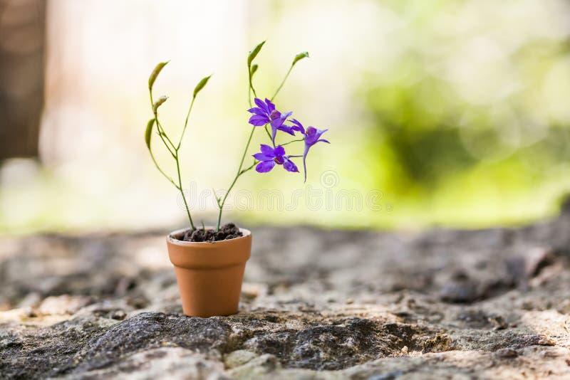 La belle violette c fleurit dans le pot de fleurs brun sur le fond en pierre Photo floristry de la vie de printemps toujours r images stock