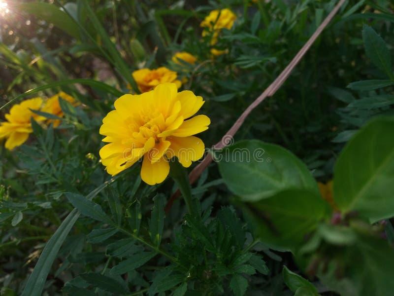 La belleza amarilla de la naturaleza fotografía de archivo libre de regalías