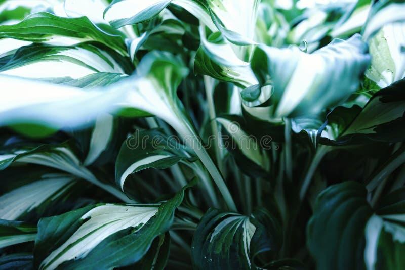 la belleza blanca de la hoja de la naturaleza del color verde del hosta florece verano macro de la sombra en la planta de la cabe fotografía de archivo