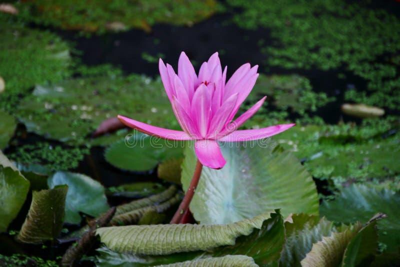 la belleza de las flores de loto en una ma?ana soleada, en una corriente del agua en Banjarmasin, Kalimantan del sur Indonesia imagen de archivo libre de regalías