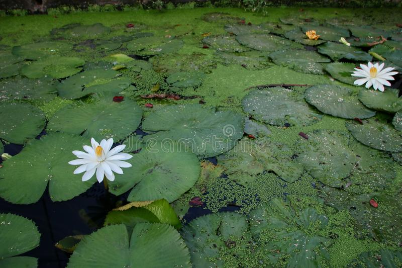 la belleza de las flores de loto en una ma?ana soleada, en una corriente del agua en Banjarmasin, Kalimantan del sur Indonesia imágenes de archivo libres de regalías