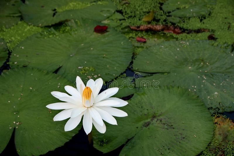la belleza de las flores de loto en una ma?ana soleada, en una corriente del agua en Banjarmasin, Kalimantan del sur Indonesia fotos de archivo