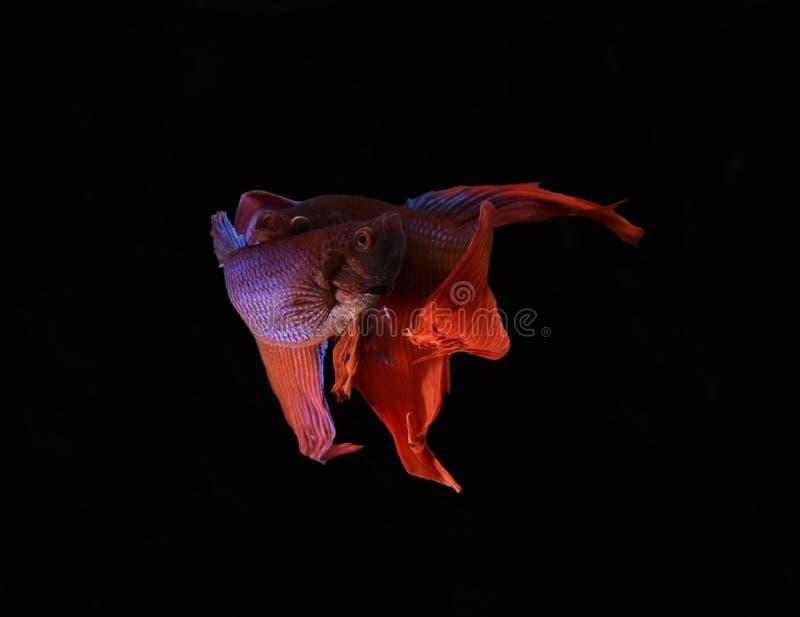 La belleza de pescados siameses en acuario con el fondo negro foto de archivo libre de regalías