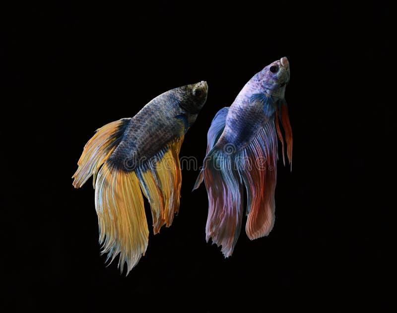 La belleza de pescados siameses en acuario con el fondo negro imágenes de archivo libres de regalías