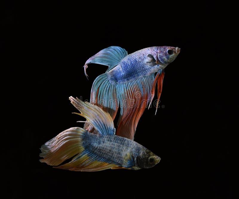 La belleza de pescados siameses en acuario con el fondo negro fotografía de archivo libre de regalías