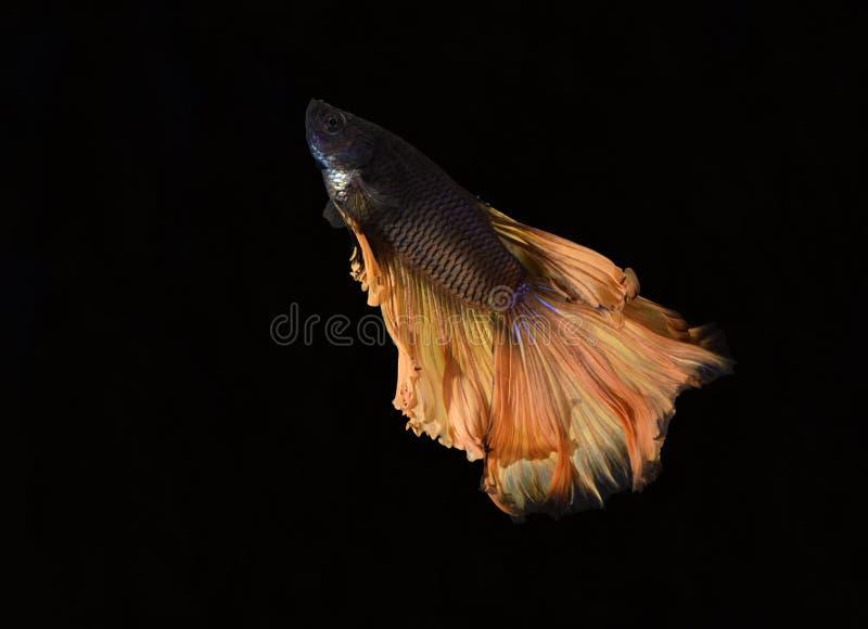 La belleza de pescados siameses en acuario con el fondo negro imagen de archivo libre de regalías