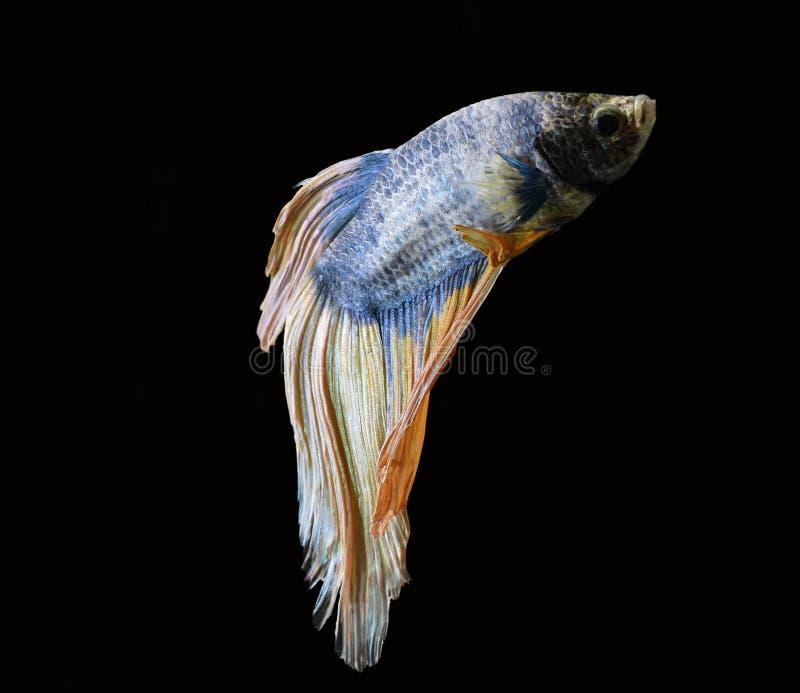 La belleza de pescados siameses en acuario con el fondo negro imagen de archivo