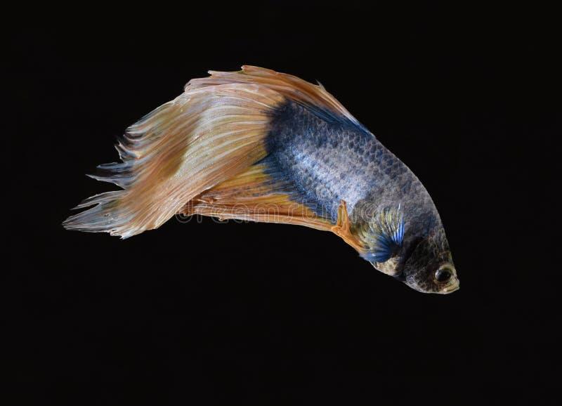 La belleza de pescados siameses en acuario con el fondo negro imagenes de archivo