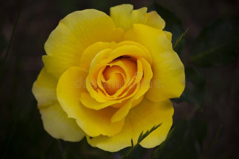 La belleza de una rosa amarilla imágenes de archivo libres de regalías