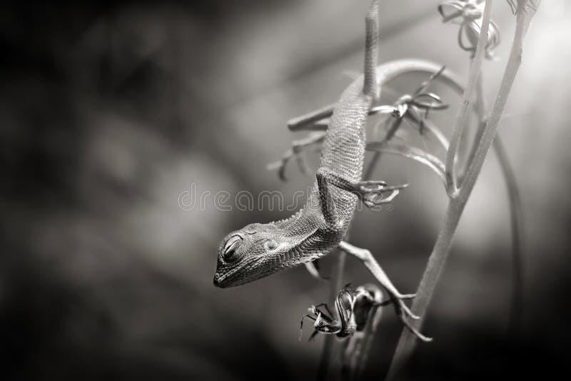 La belleza del sueño de los lagartos fotos de archivo