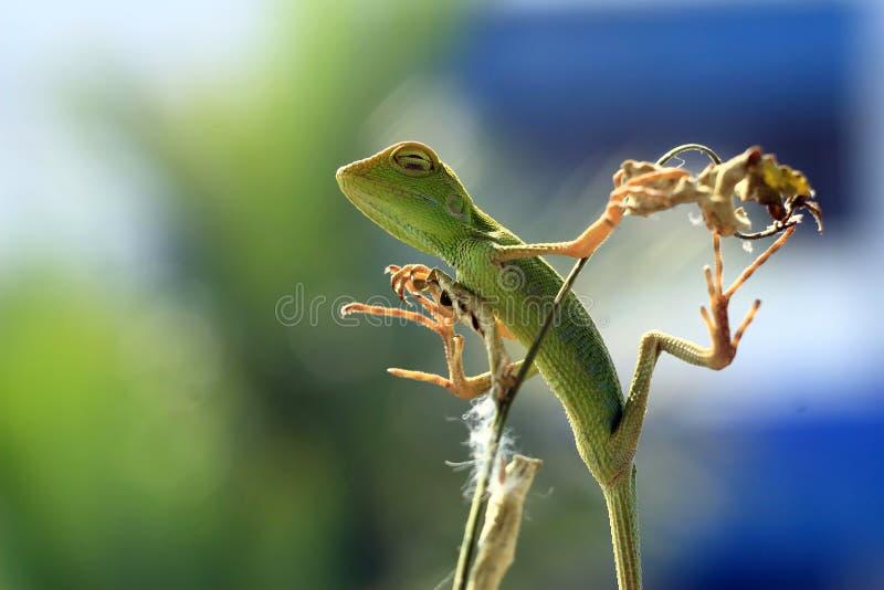 La belleza del sueño de los lagartos foto de archivo libre de regalías