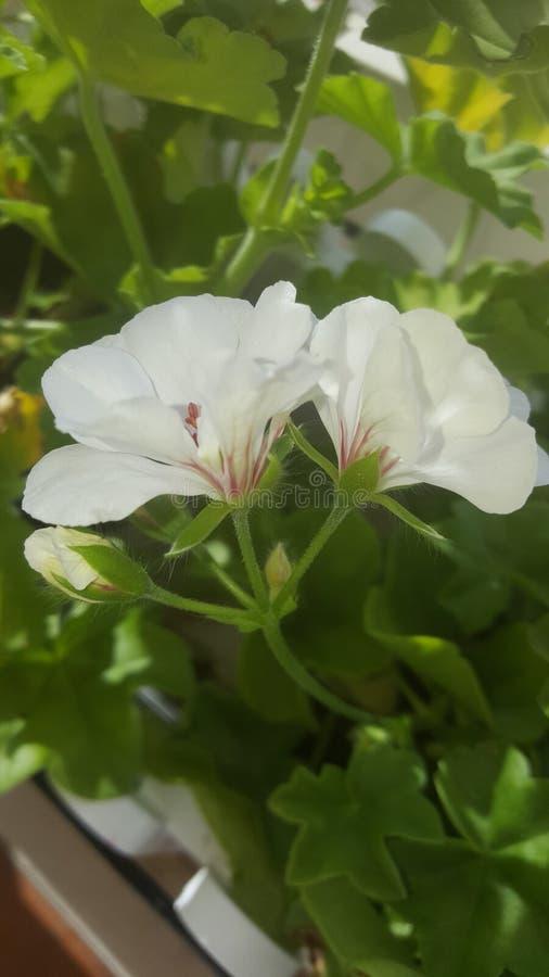 la belleza entre las flores fotografía de archivo libre de regalías