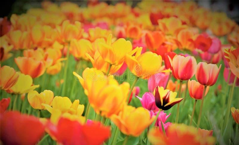 ¡La belleza magnífica de tulipanes!!! foto de archivo libre de regalías
