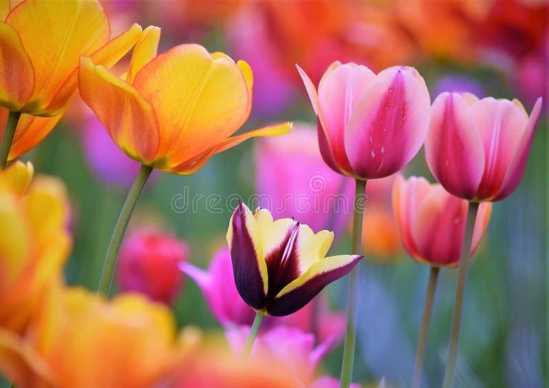 ¡La belleza magnífica de tulipanes!!! fotos de archivo