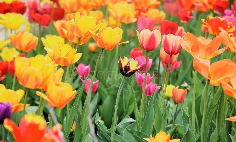 ¡La belleza magnífica de tulipanes!!! imagenes de archivo