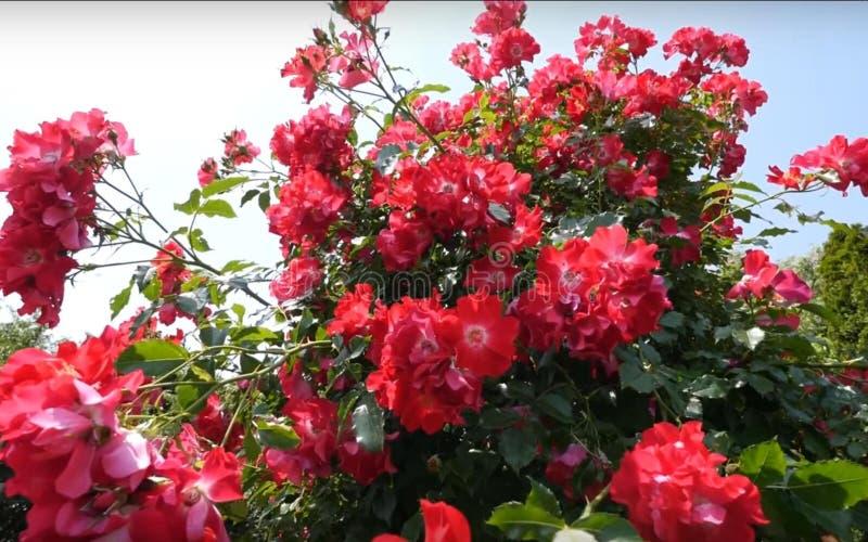 La bellezza dei fiori rossi fotografia stock
