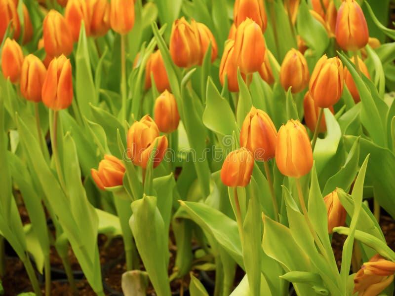 La bellezza dei tulipani con l'arancia, fiorente nel giardino fotografie stock libere da diritti