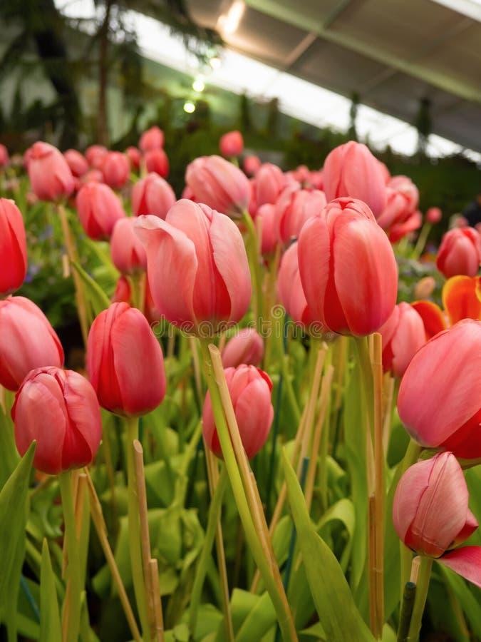 La bellezza dei tulipani con la vecchia rosa, fiorente nel giardino immagini stock libere da diritti