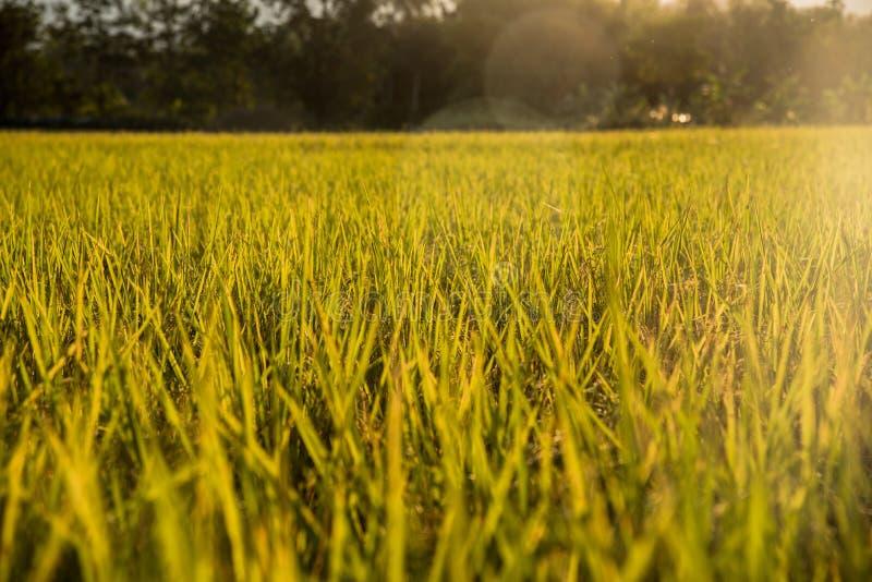 La bellezza del giacimento del riso dietro il sole immagine stock