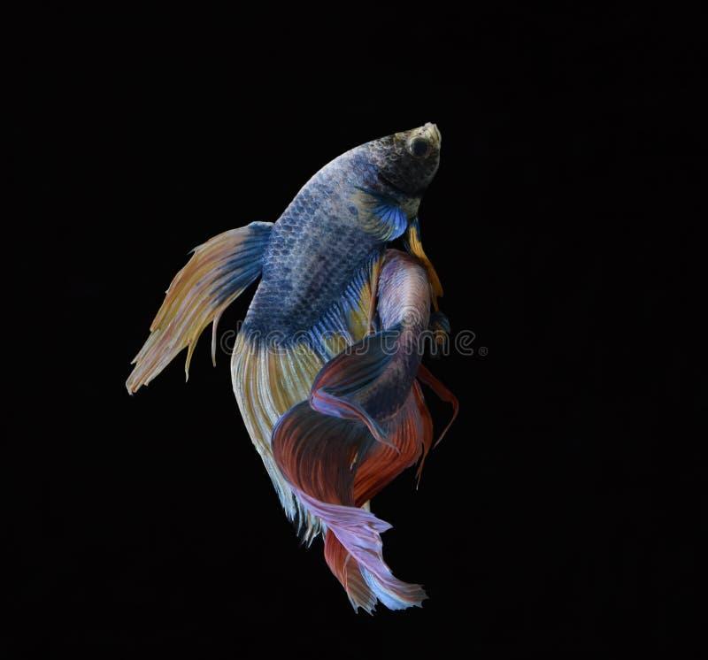 La bellezza del pesce siamese in acquario con fondo nero fotografia stock