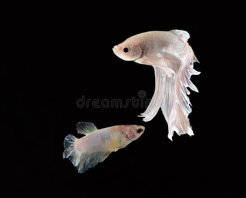 La bellezza del pesce siamese in acquario con fondo nero immagine stock