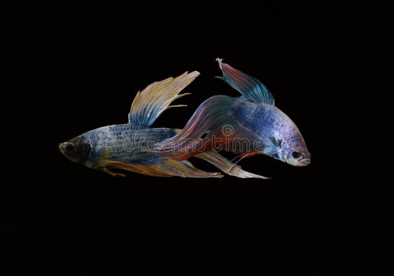 La bellezza del pesce siamese in acquario con fondo nero immagini stock libere da diritti