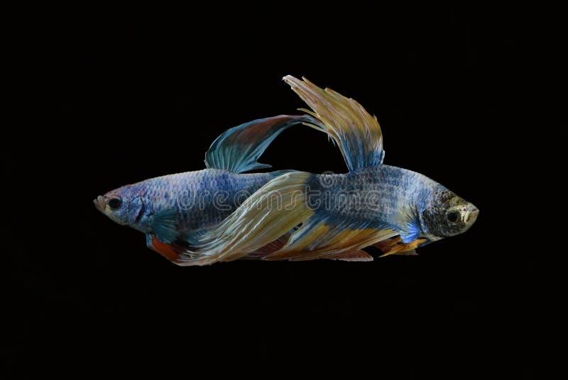 La bellezza del pesce siamese in acquario con fondo nero fotografie stock