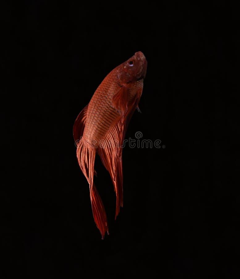 La bellezza del pesce siamese in acquario con fondo nero fotografia stock libera da diritti