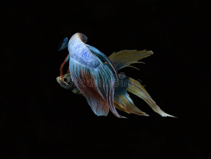La bellezza del pesce siamese in acquario con fondo nero immagini stock