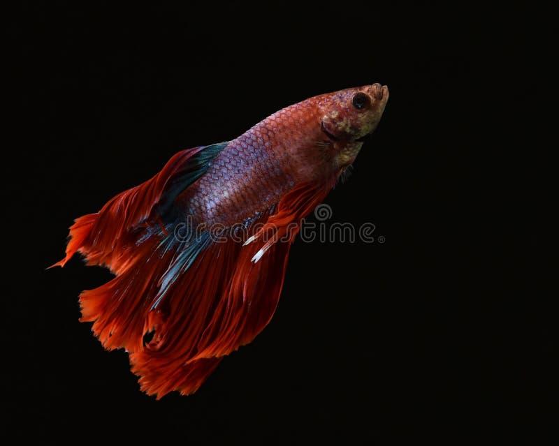 La bellezza del pesce siamese in acquario con fondo nero fotografie stock libere da diritti