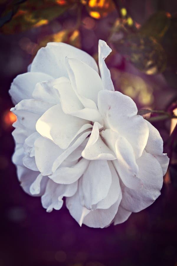 La bellezza delicata di una Rosa bianca fotografia stock libera da diritti