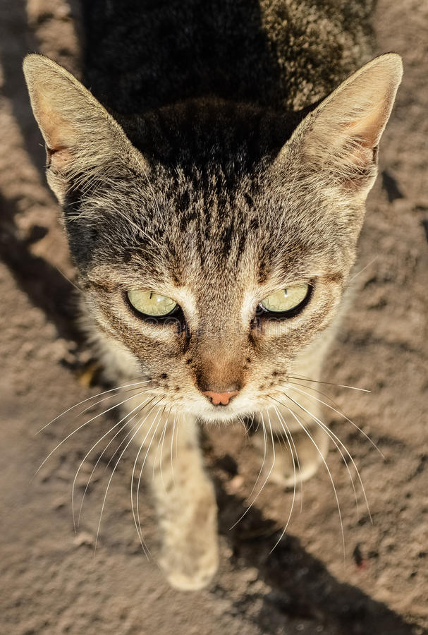 La bellezza di un felino fotografie stock